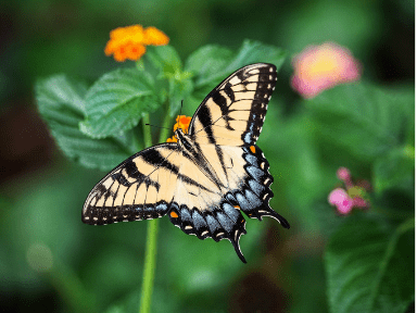 Joy Butterfly