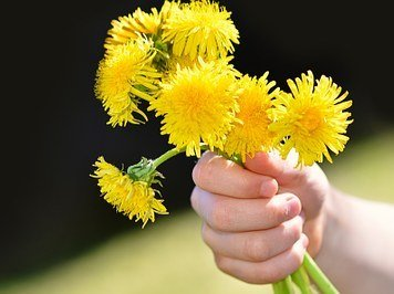 Photo of a child with a handfull of dandelions in a bouquet