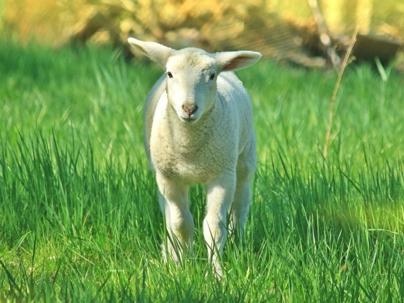 Photo of a lamb in a green pasture facing the viewer.