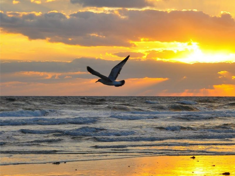Sea gull flying into the sunset.