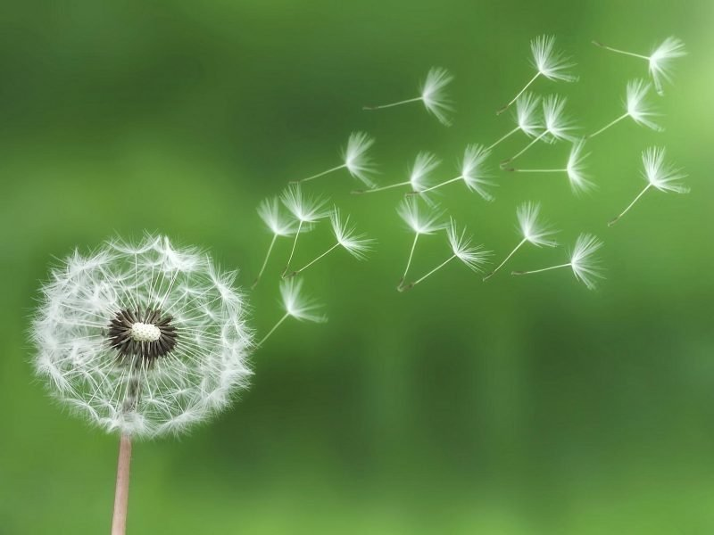 Photo of dandelion seed blowing in the wind.