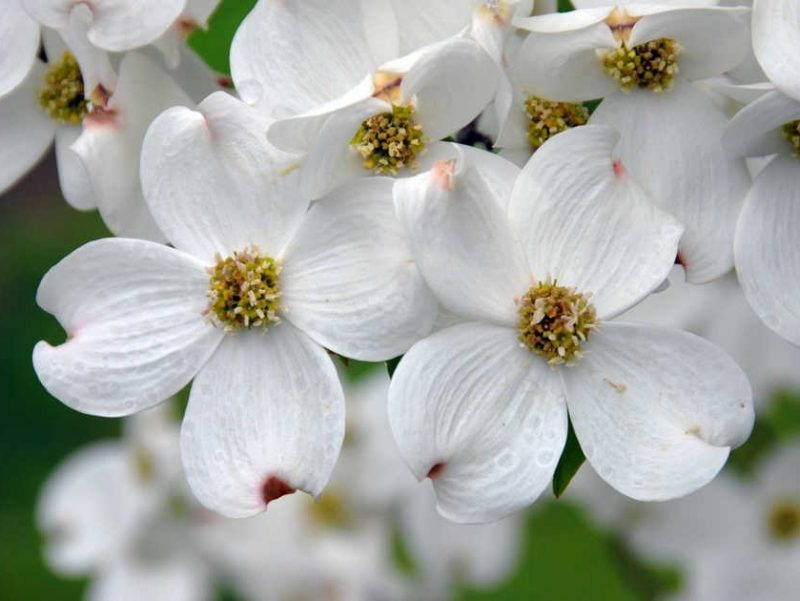 Photo of dogwood branches in full bloom.