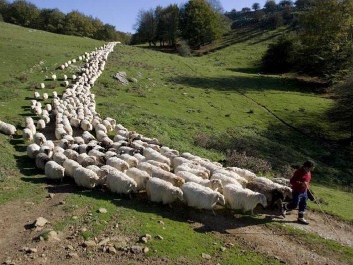 Sheep following a shepherd.