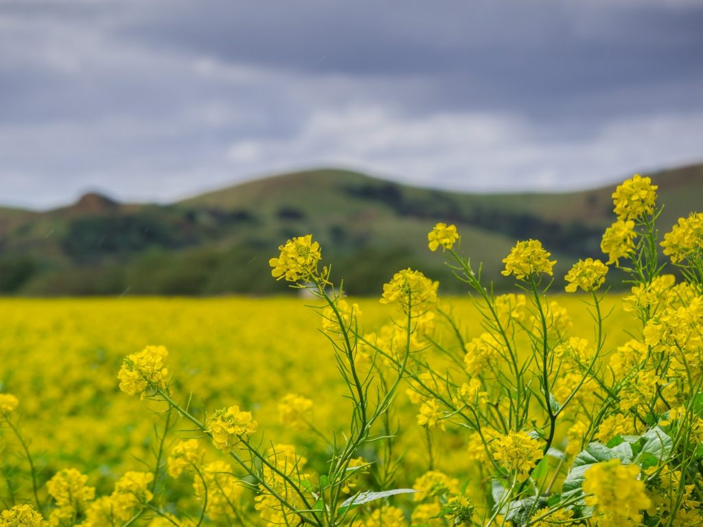 Field of mustard against a backdrop of mountains.